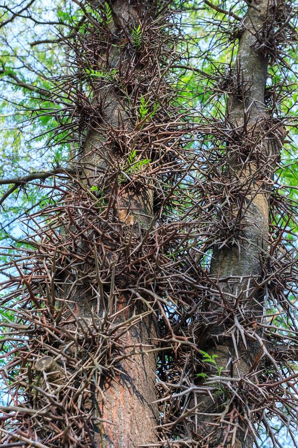 Wild acacia tree thorns. Thorny trunk close up with blue sky royalty free stock photos