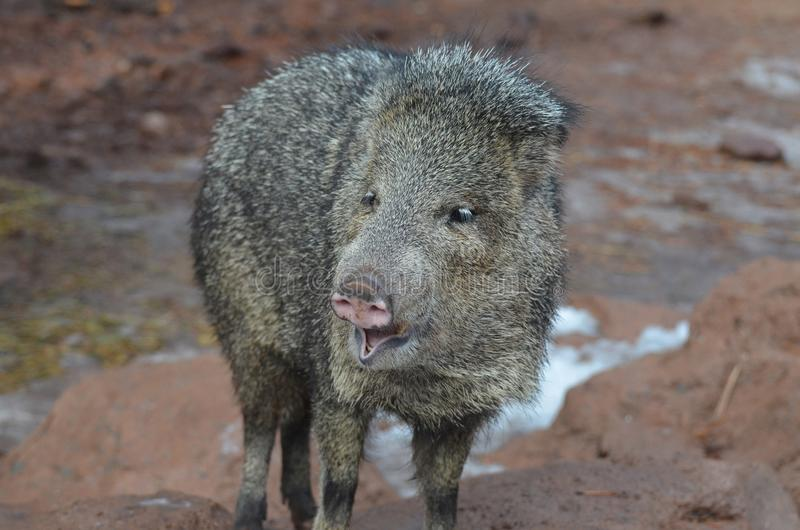 Wild adorable javelina hog with its mouth open royalty free stock photography