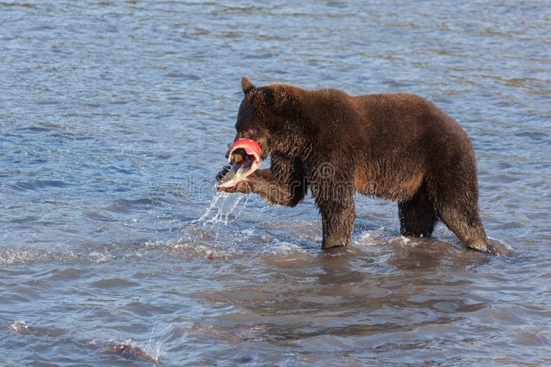 Wild adult brown bear Ursus is fishing at sunset. Wild adult brown bear ursus  fishing. A bear stands in the water and holds a salmon caught fish close up at royalty free stock image