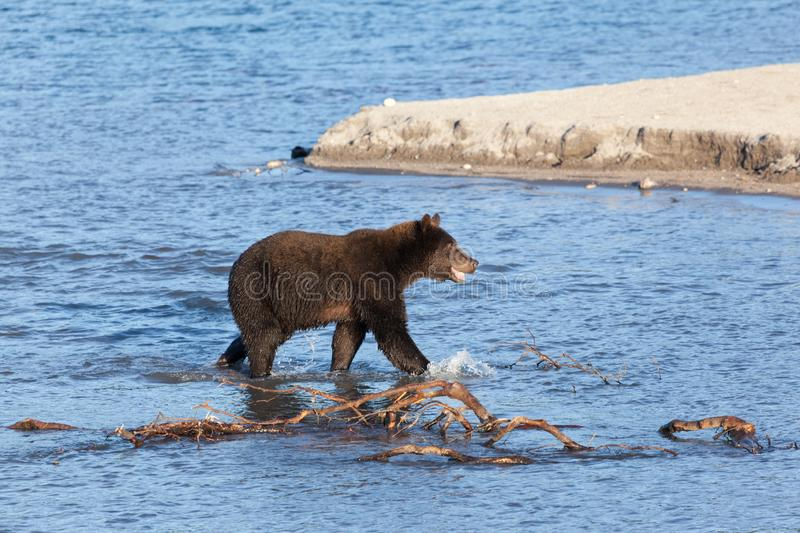 Wild adult brown bear Ursus is fishing at sunset. Wild adult brown bear ursus  fishing. A bear stands in the water and holds a salmon caught fish close up at stock photos