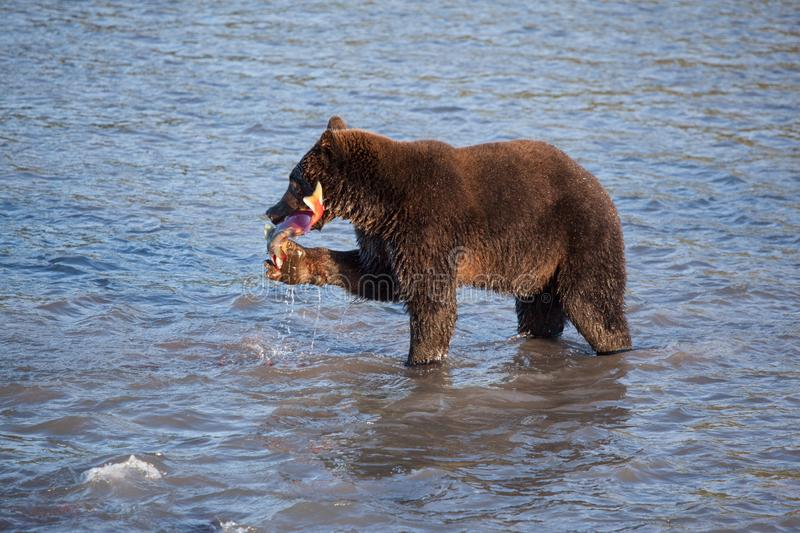 Wild adult brown bear Ursus is fishing at sunset. Wild adult brown bear ursus  fishing. A bear stands in the water and holds a salmon caught fish close up at stock images