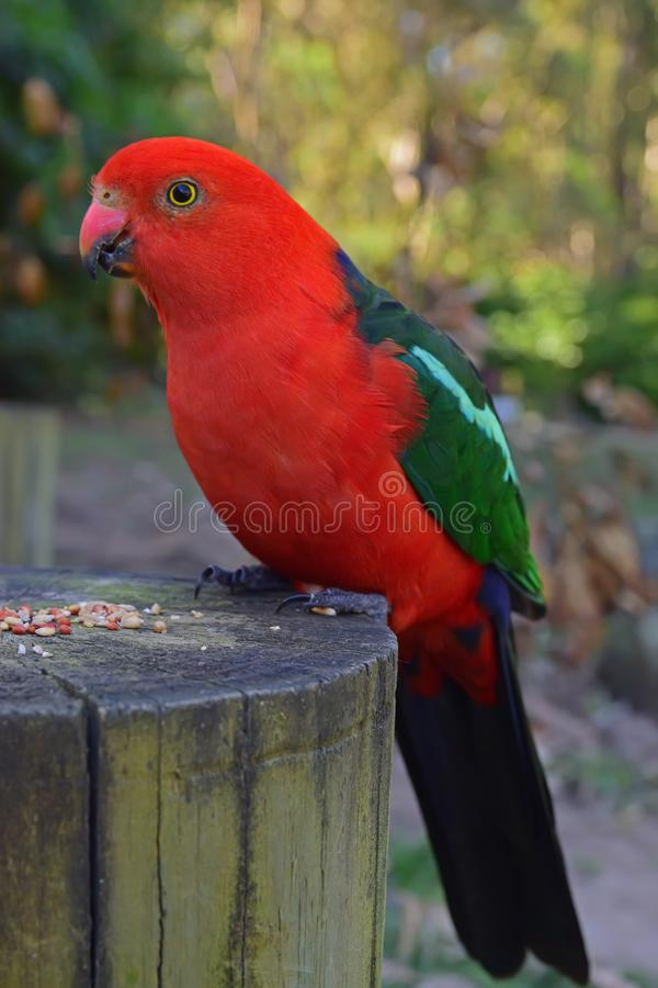 Wild Adult Male Australian King Parrot resting on chopped tree trunk with food pellet feed stock image