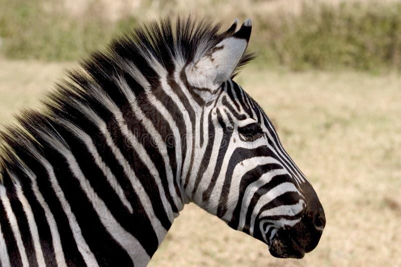 wild africa djur nationalparkserengeti royaltyfria bilder