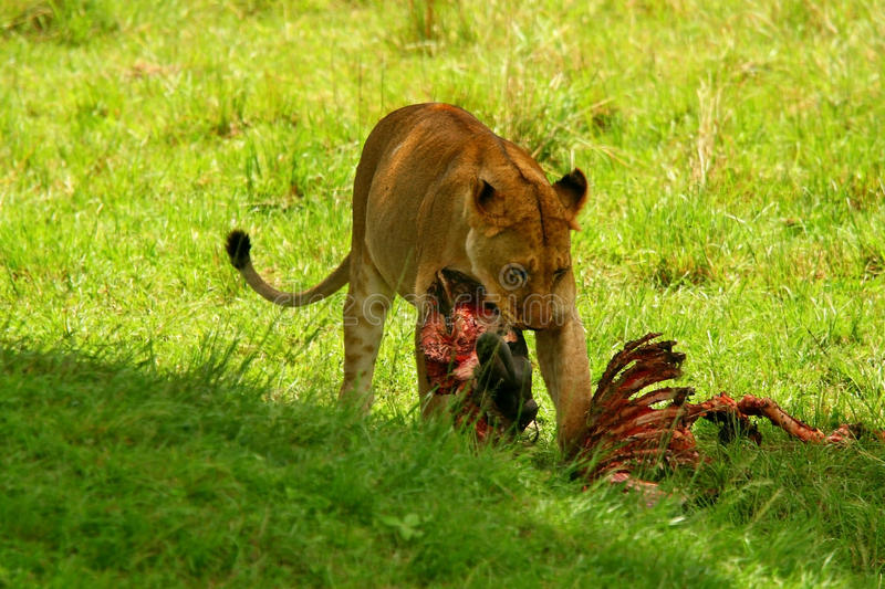 Download Wild Africam Lioness Eating Wildebeest Stock Image - Image: 13253167