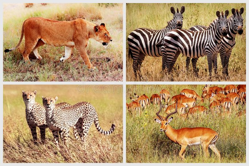 Wild African animals - lion, cheetah, zebra, antelope in the national park. African collage royalty free stock images