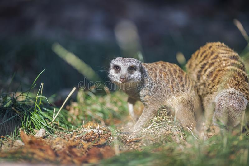 Suricata suricatta species of mongoose live on the outskirts of the desert, live in holes in the ground and can stand like humans royalty free stock images