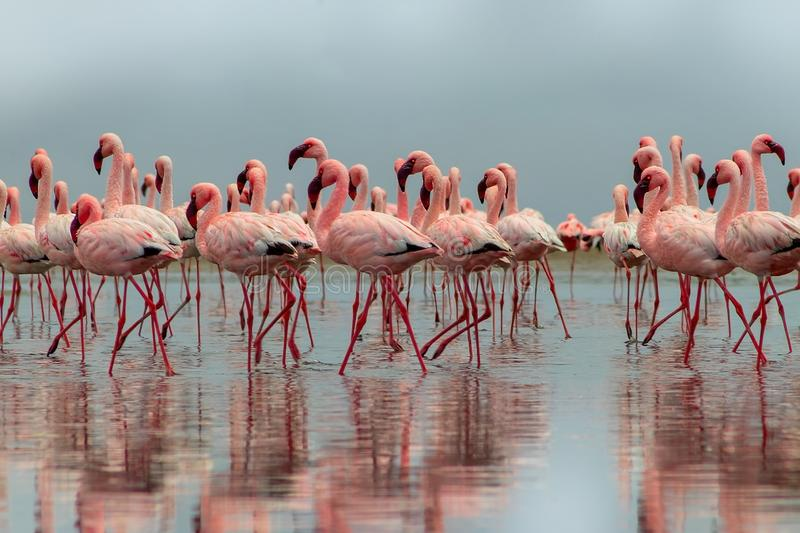 Group of African red flamingo birds and their reflection on clear water. Walvis bay, Namibia, Africa. Wild african birds. Group of African red flamingo birds and stock photography