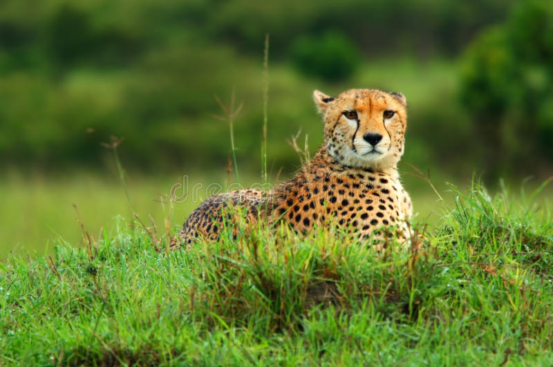 Download Wild African Cheetah Royalty Free Stock Photography - Image: 14073217