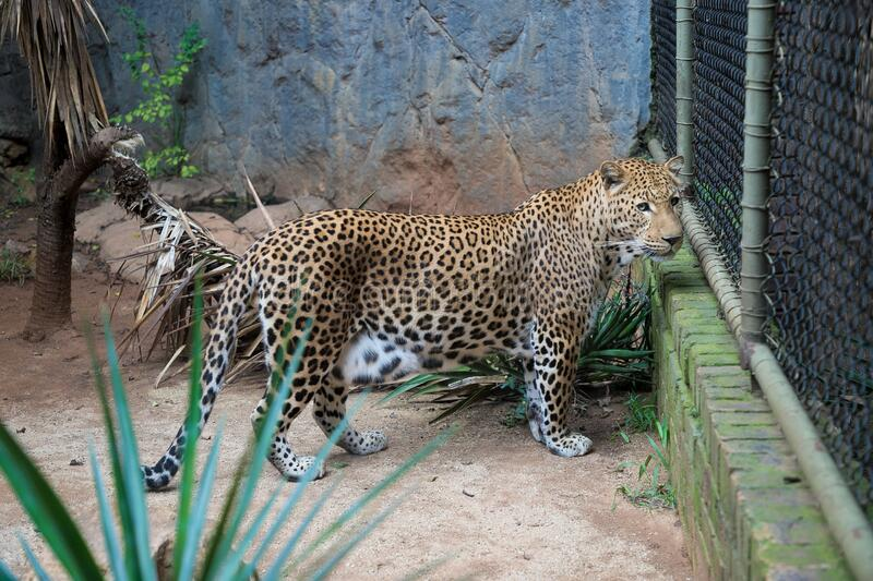 Wild african cheetah, guepard in a zoo cage stock images