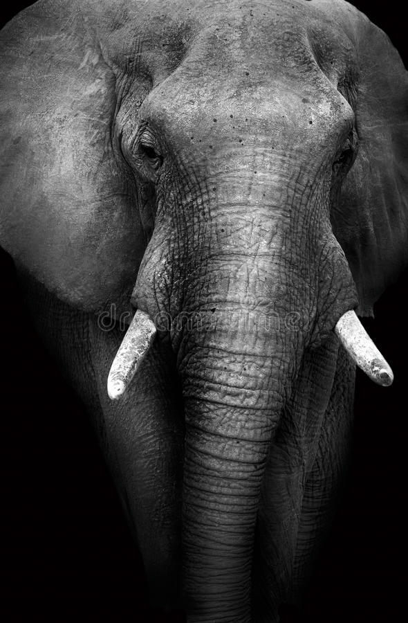 Wild African Elephant (Artistic Edit) stock image