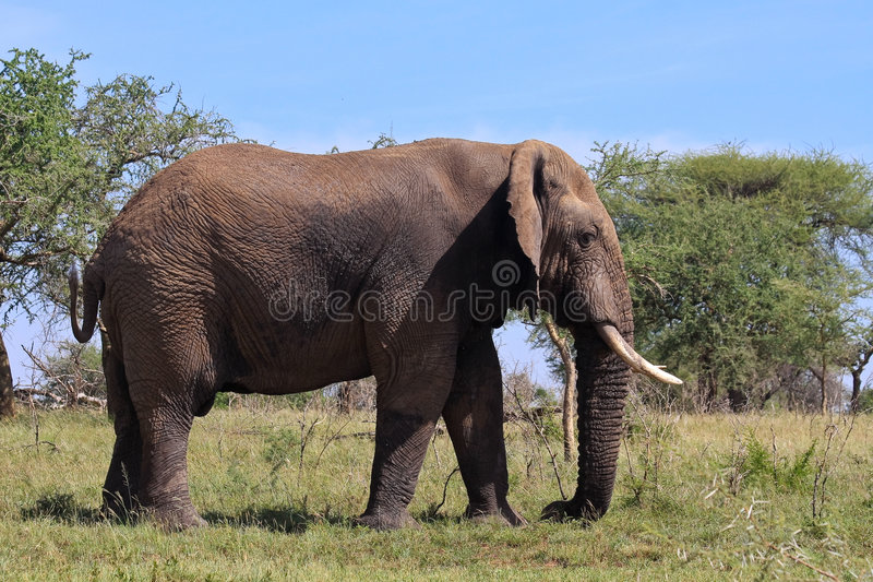 Wild African Elephant in Tanzania stock photography