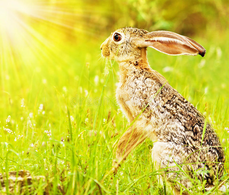 Wild African Hare Stock Photos