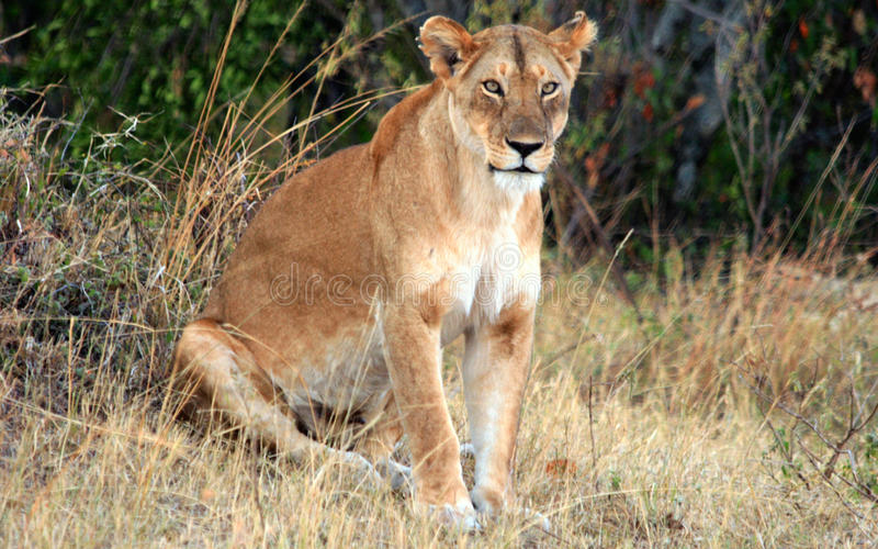 Wild african lioness of Masai Mara reserve in Kenya stock images