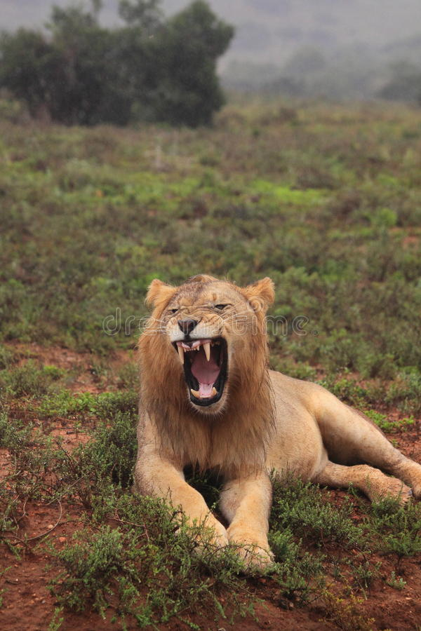 Wild african male lion royalty free stock photos