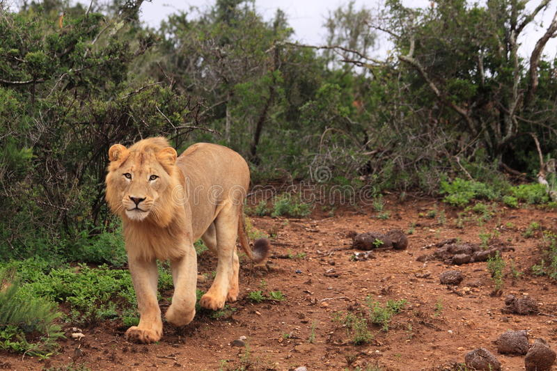 Wild african male lion royalty free stock photography