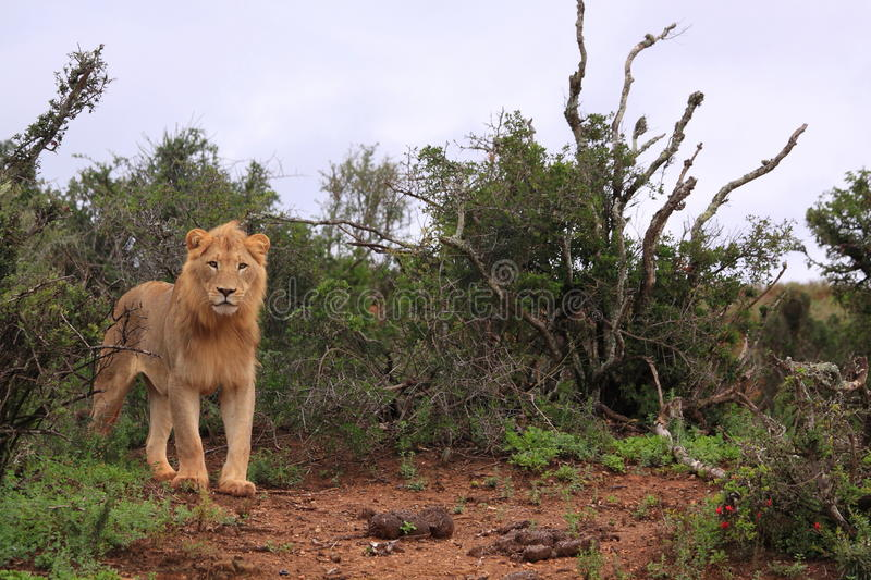 Wild african male lion standing stock images