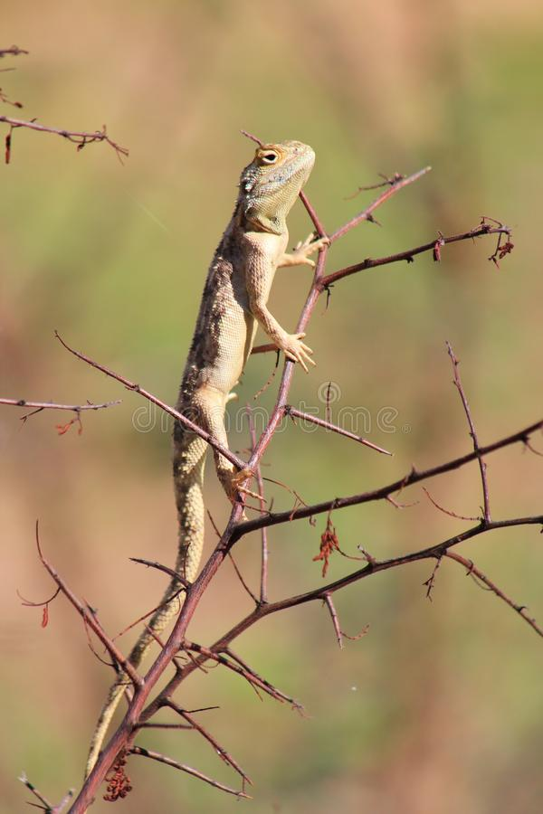 Download Wild African Reptiles, Blue Headed Lizzard, Young Stock Image - Image: 28034363