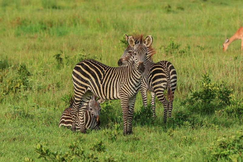 Wild African Zebras in the Mikumi National Park stock photography