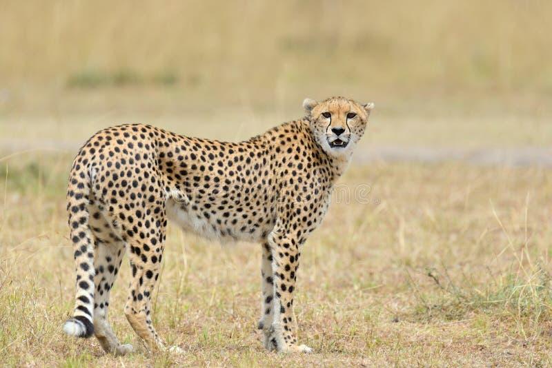 wild afrikansk cheetah royaltyfri foto