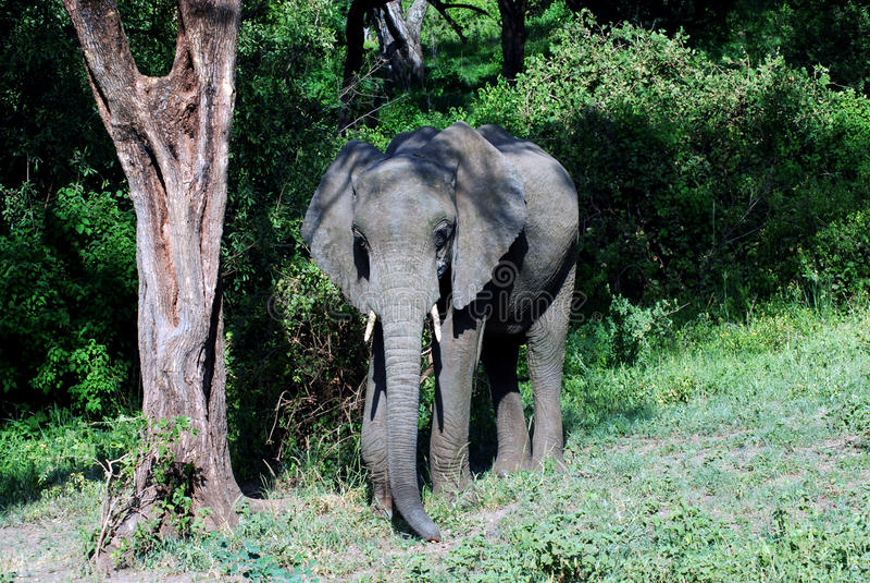 wild afrikansk elefant royaltyfri foto