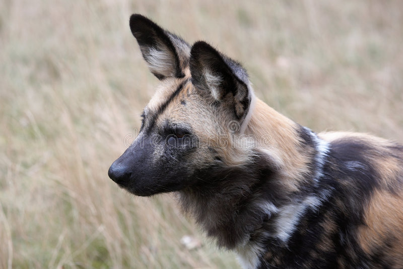 wild afrikansk hund arkivfoton