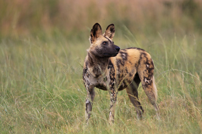 wild afrikansk hund royaltyfria foton