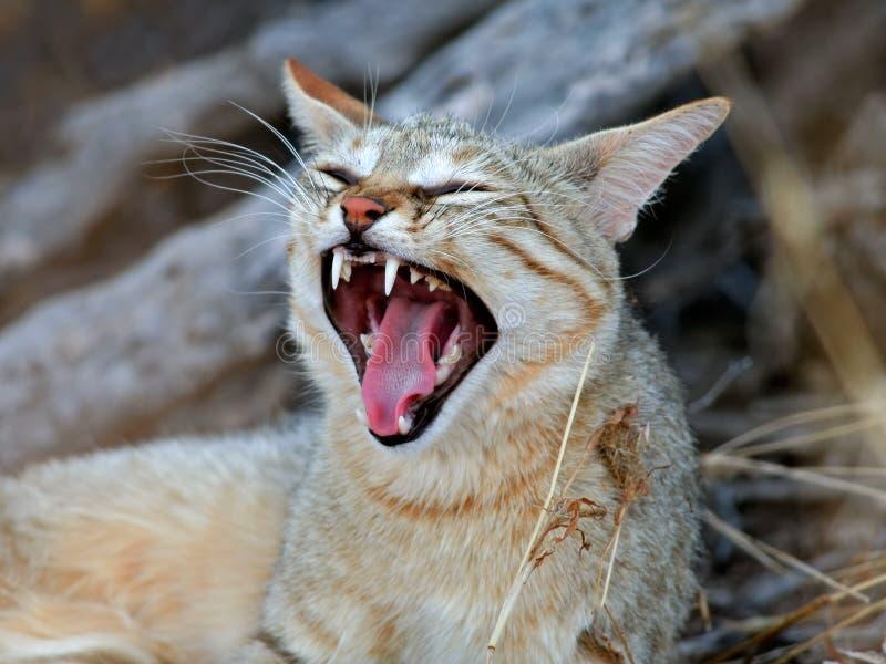 wild afrikansk katt royaltyfri fotografi