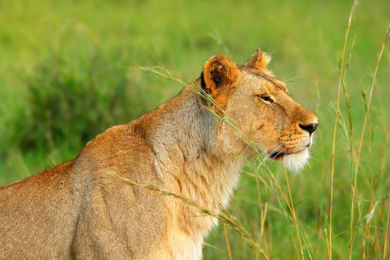 wild afrikansk lioness royaltyfri fotografi
