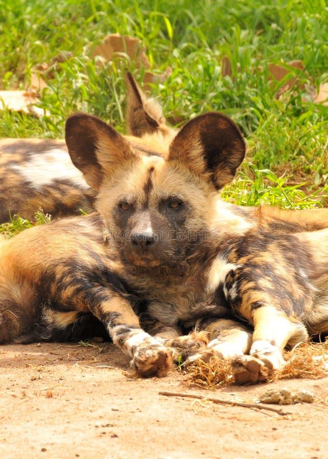 wild afrikanska hundar royaltyfria foton