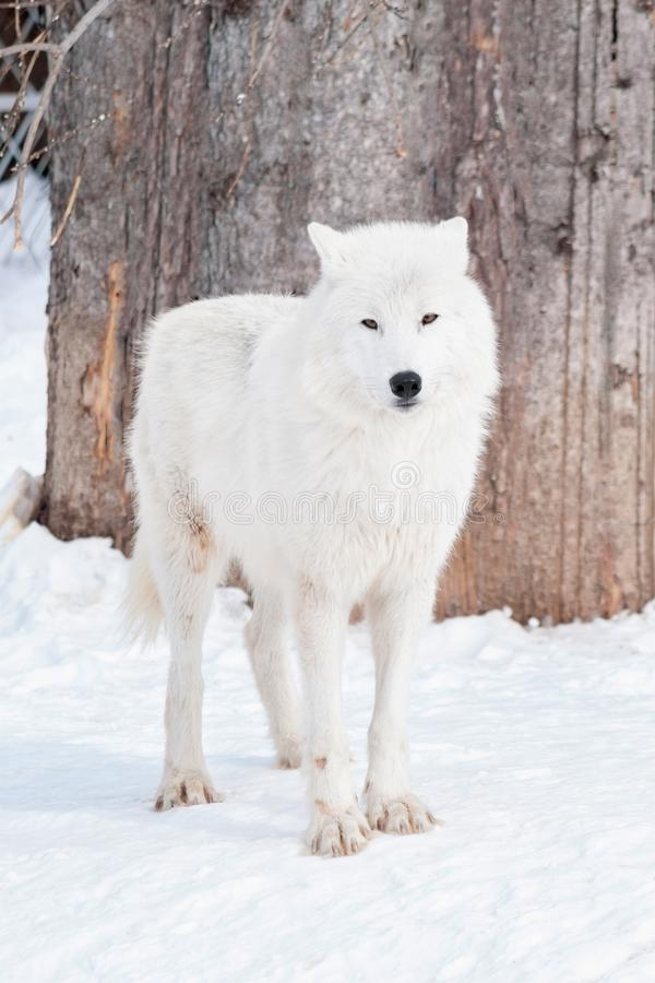 Wild alaskan tundra wolf is standing on white snow. Canis lupus arctos. royalty free stock photography
