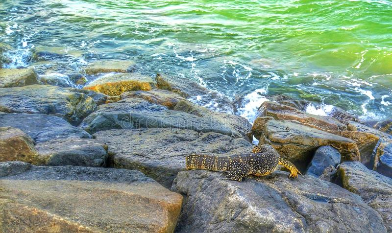 Wild alligator royalty free stock photo