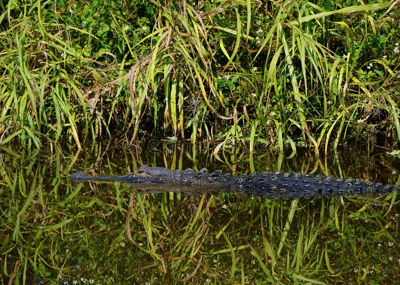 Wild Alligator in a Florida swamp royalty free stock photos