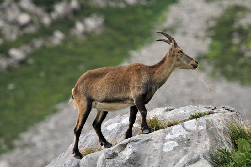 Wild alpine ibex - steinbock stock photography
