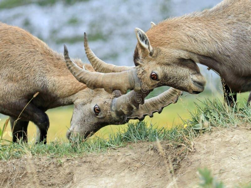 Wild alpine ibex - steinbock fight royalty free stock image