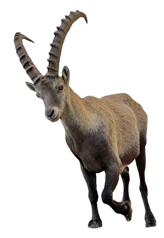 Wild alpine ibex - steinbock portrait stock images