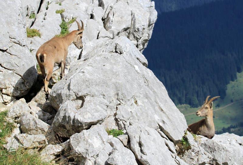 Wild alpine ibex - steinbock stock photo