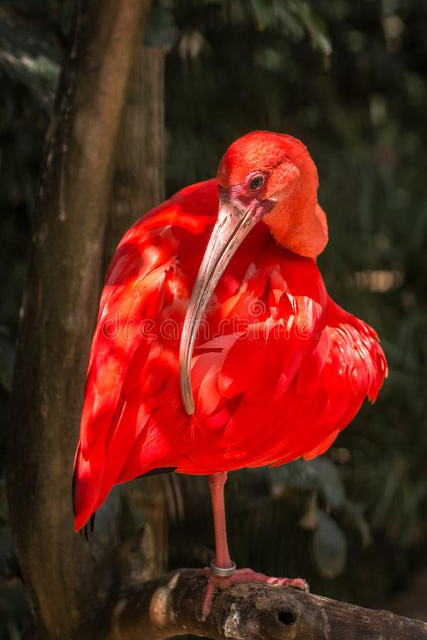 Wild Amazon Rainforest bird Scarlet Ibis, Eudocimus ruber, wild tropical bird of Brazil isolated in the forest in Parque das Aves stock image