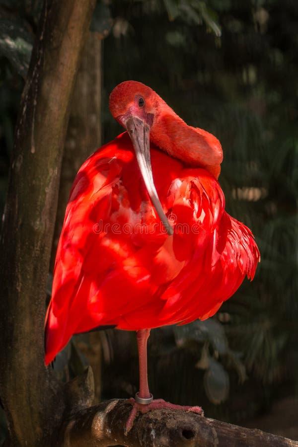 Wild Amazon Rainforest bird Scarlet Ibis, Eudocimus ruber, wild tropical bird of Brazil isolated in the forest in Parque das Aves stock photos