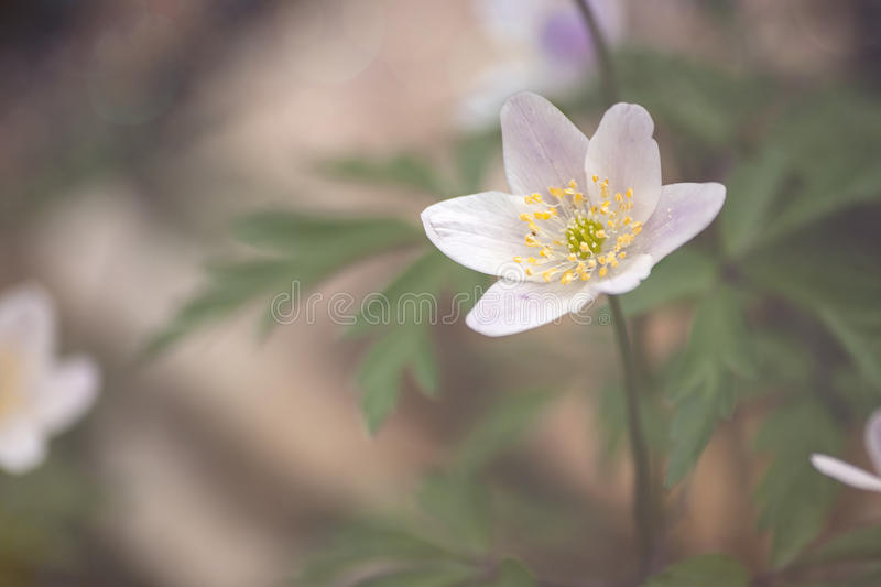 Wild anemone nemorosa or wood anemone flower. S blooming in early spring royalty free stock photos