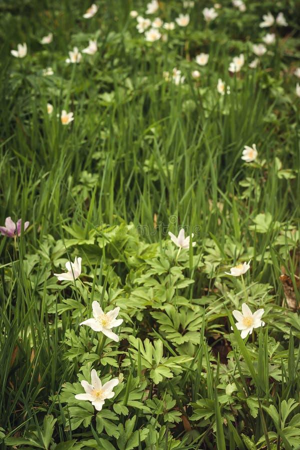 Wild anemone nemorosa or wood anemone white flowers stock photography
