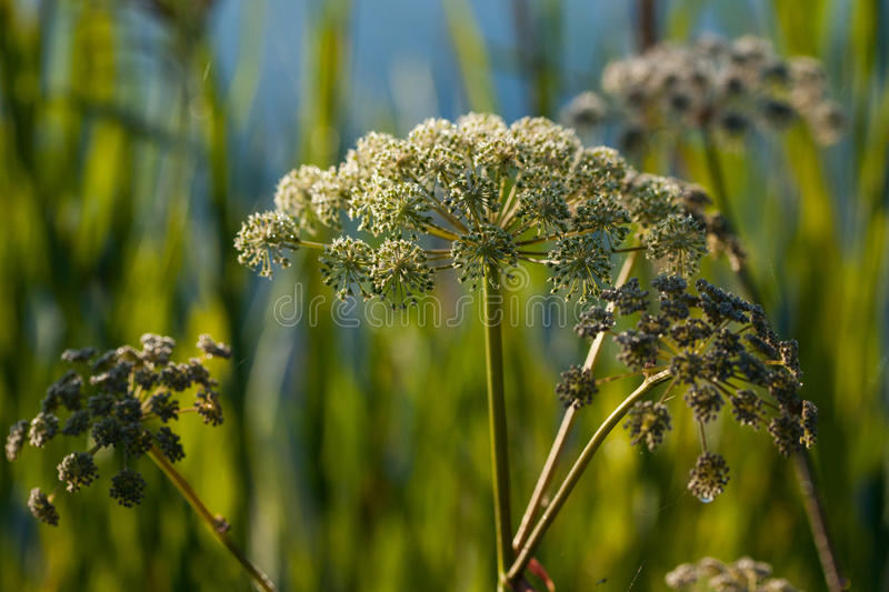Wild angelica Angelica sylvestris plant. In the summer onshore of some Lithuanian lake royalty free stock photos