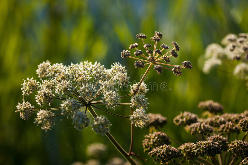 Wild angelica Angelica sylvestris plant. In the summer onshore of some Lithuanian lake stock images
