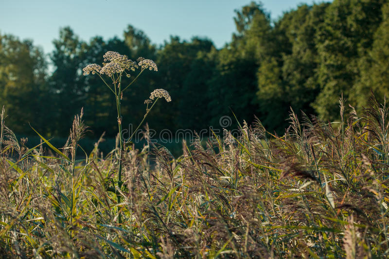 Wild angelica Angelica sylvestris plant. In the summer onshore of some Lithuanian lake royalty free stock image