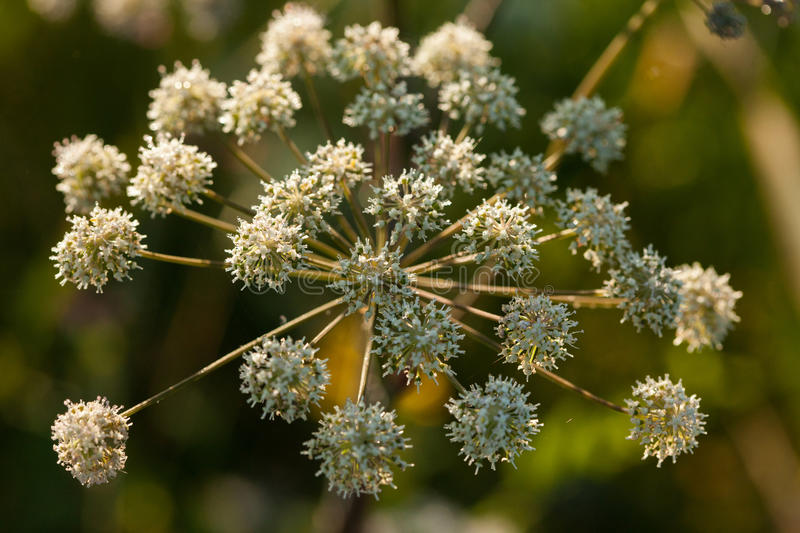 Wild angelica Angelica sylvestris plant. In the summer onshore of some Lithuanian lake royalty free stock photography