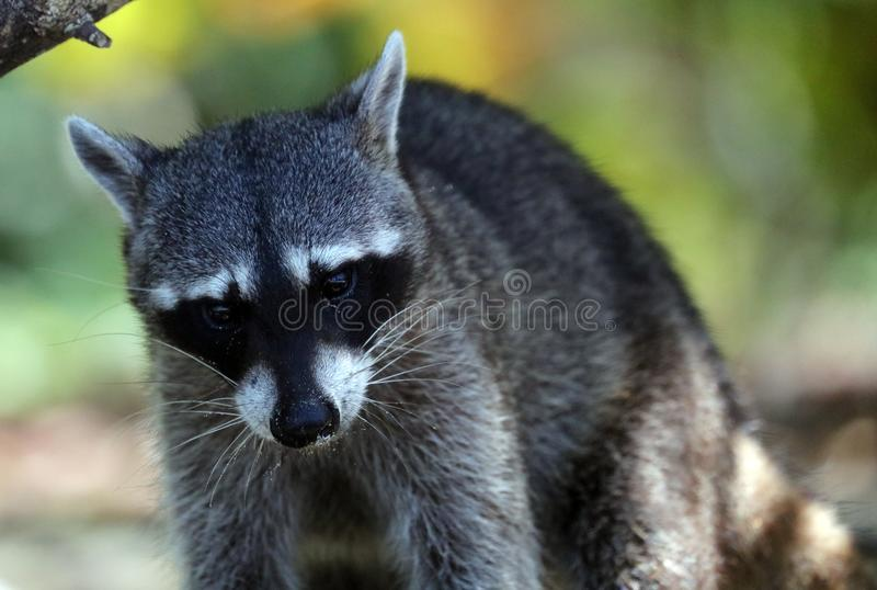 Wild angry raccoon in the jungle of Costa Rica waiting for food royalty free stock image
