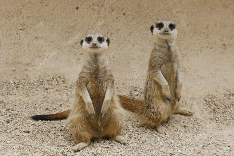 Download Wild animal stock image. Image of pair, meerkat, cute - 2618483