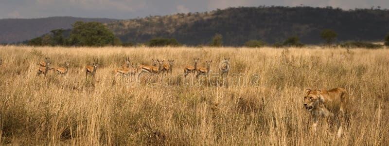 Wild animal in africa, serengeti national park royalty free stock image