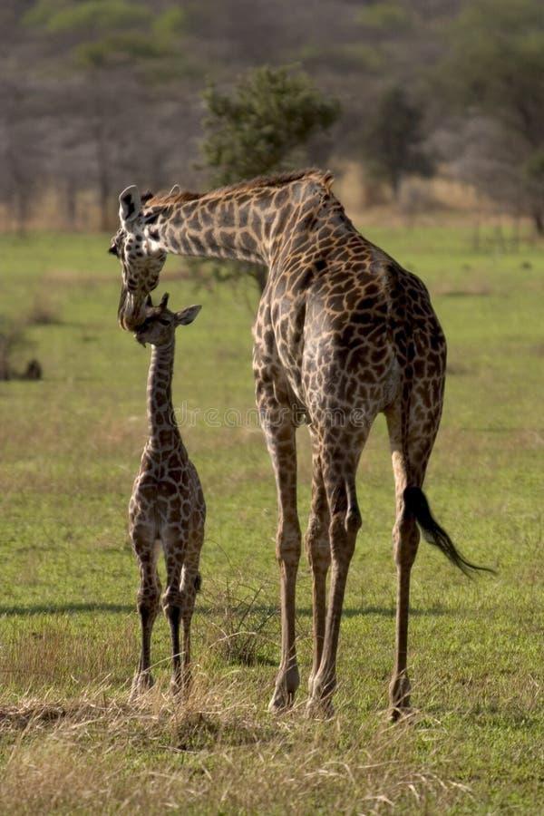 Wild animal in africa, serengeti national park stock photos