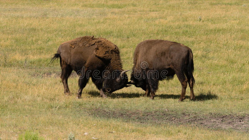 Wild Animal Buffalo Bull Males Fight Yellowstone National Park. Two males square off trying to establish dominance and breeding rights stock images