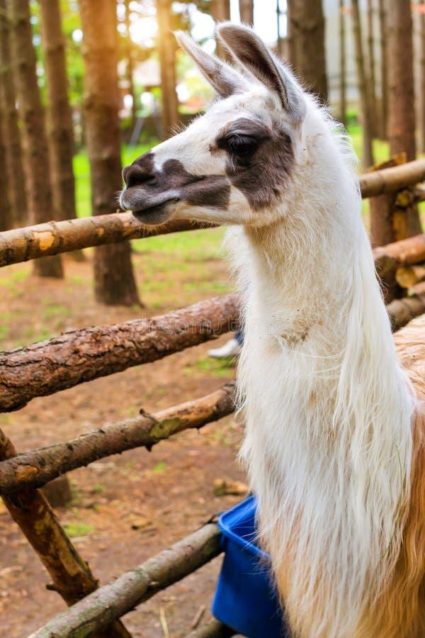 Wild animal Lama on the nature. Palanga stock photography